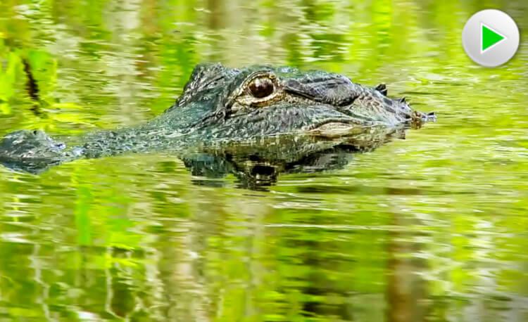 Ein Alligator im Wasser