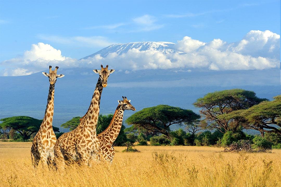 Drei Giraffen stehen in der Savanne von Afrika
