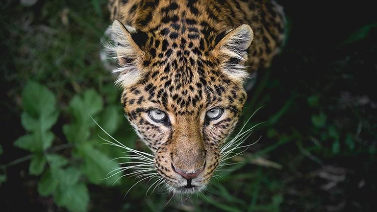 Eine Leopardenkatze im Dschungel von oben fotografiert
